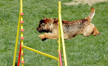 Terrier jumping over an agility gate, photo by Multimotyl at English Wikipedia